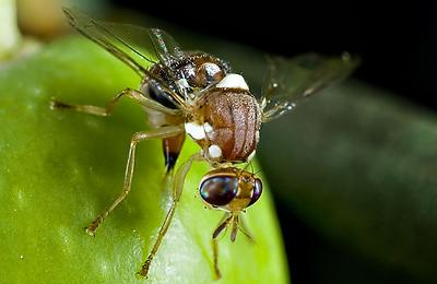 01_olive_fruit_fly_frontpage