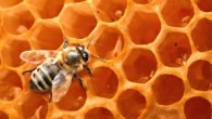 Honey-Bees--300x168.jpg