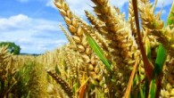 gmo_wheat_field-300x225.jpg