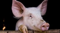 pigs-300x200.jpg