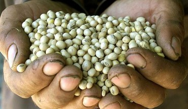 soybeans_genetically_modified