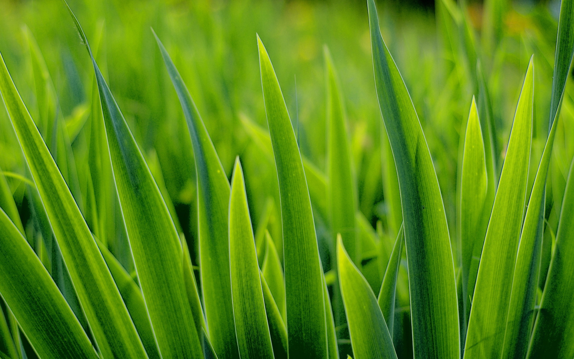 GMO Grass Set for Lawns Across US - No Regulation Needed - Sustainable ...