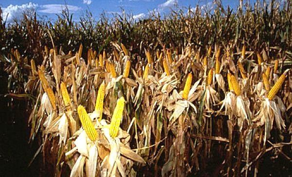 Genetically engineered Ciba Gelgy corn