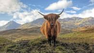scotland gm crops