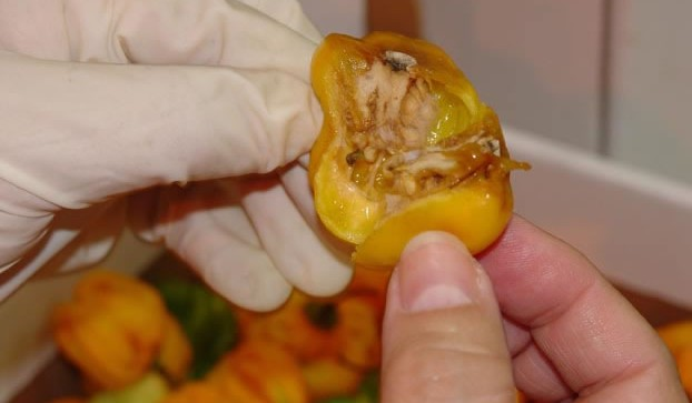 GM Maggots Expected in Fruit Imports after Go-ahead for
