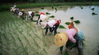 Paddy-fields_china