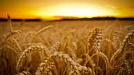GM Wheat
