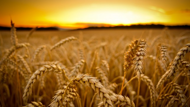 Illegal GMO Wheat Discovery in Washington State Causes