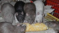 Rats-EatingCorn-n06-300x176.jpg