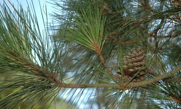 Loblolly-Pine