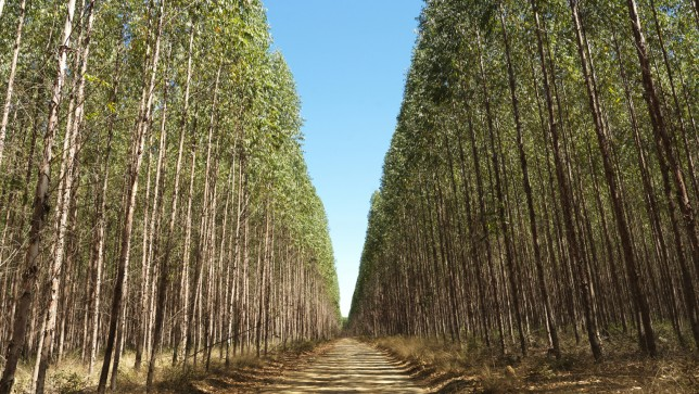 GM Eucalyptus