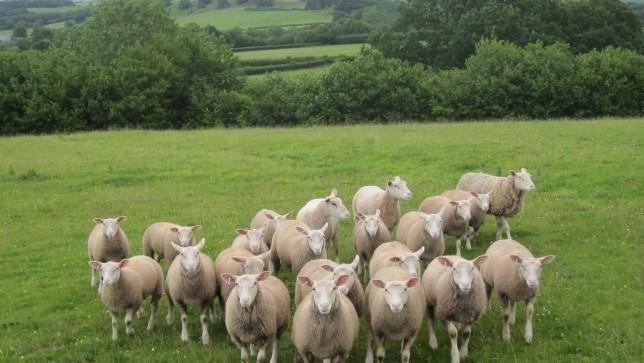 sheep-wales