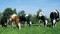 cows-toxic-gm-crops-300x196.jpg