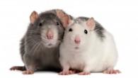 rats-300x168.jpg