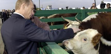 putin gmo feed cows