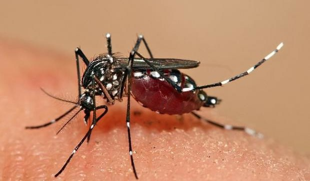 tiger Asian mosquito