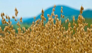 pre-harvest oats