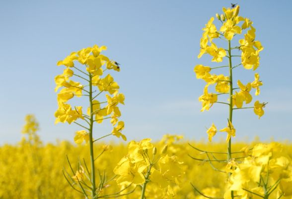GM Oilseed Rape