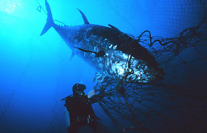 bluefinnet