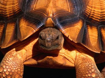 ploughshare_tortoise_1